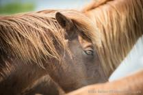 Wild ponies of Assateague Island National Seashore