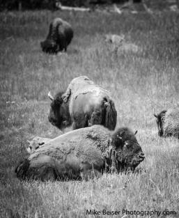 Yellowstone Herd, Yellowstone, Wy.